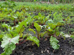 root crops Hinche, Haiti