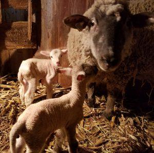 newborn lambs with ewe