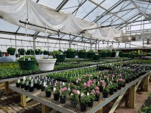 Plants ready for 2018 HCC sale