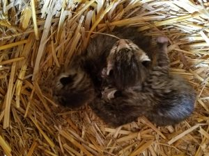 3 kittens in the straw 2018